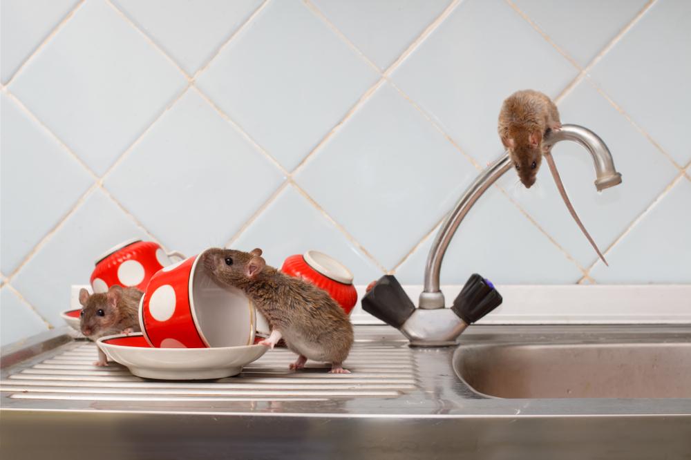 comment se d barrasser des rats toutes les m thodes. Black Bedroom Furniture Sets. Home Design Ideas