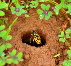 Guepe de terre a l'entree de son nid