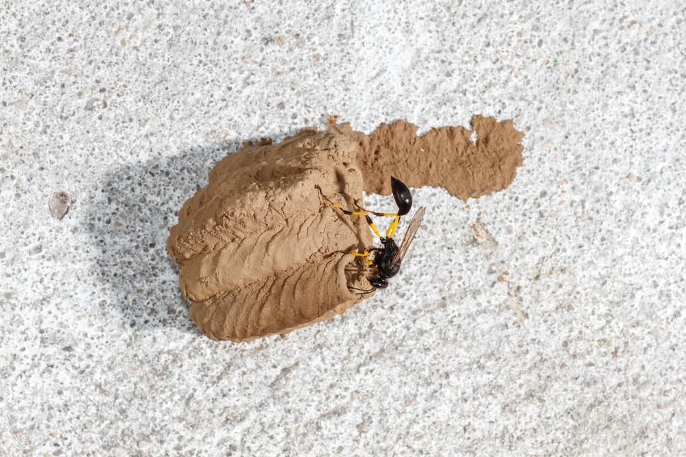 Guepe potiere Delta Caffer Sceliphron travaillant sur un nid
