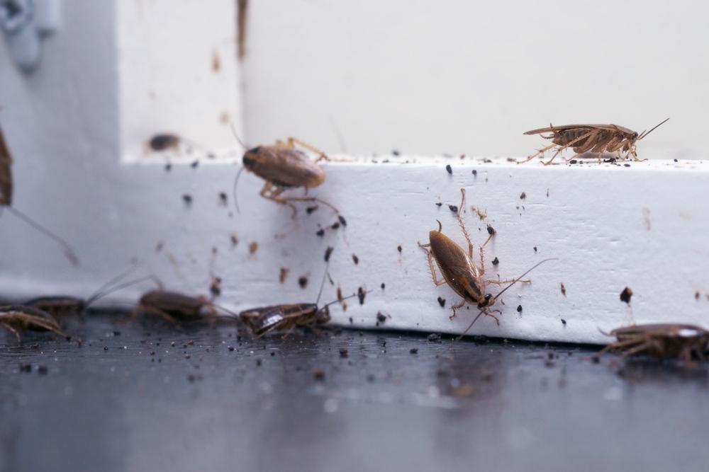 De nombreux cafards sont installés sur une étagère en bois
