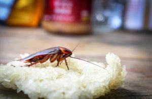Un cafard mangeant du riz sur une table