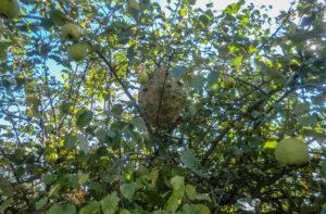 Destruction nid de frelon