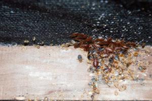 Punaise de lit infestent un cadre de lit