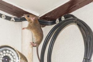Rat brun maison sur câble à fibre optique