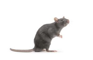 Rat isolé sur un fond blanc