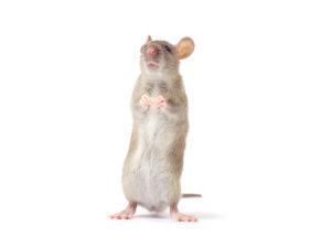 Rat isolé sur fond blanc