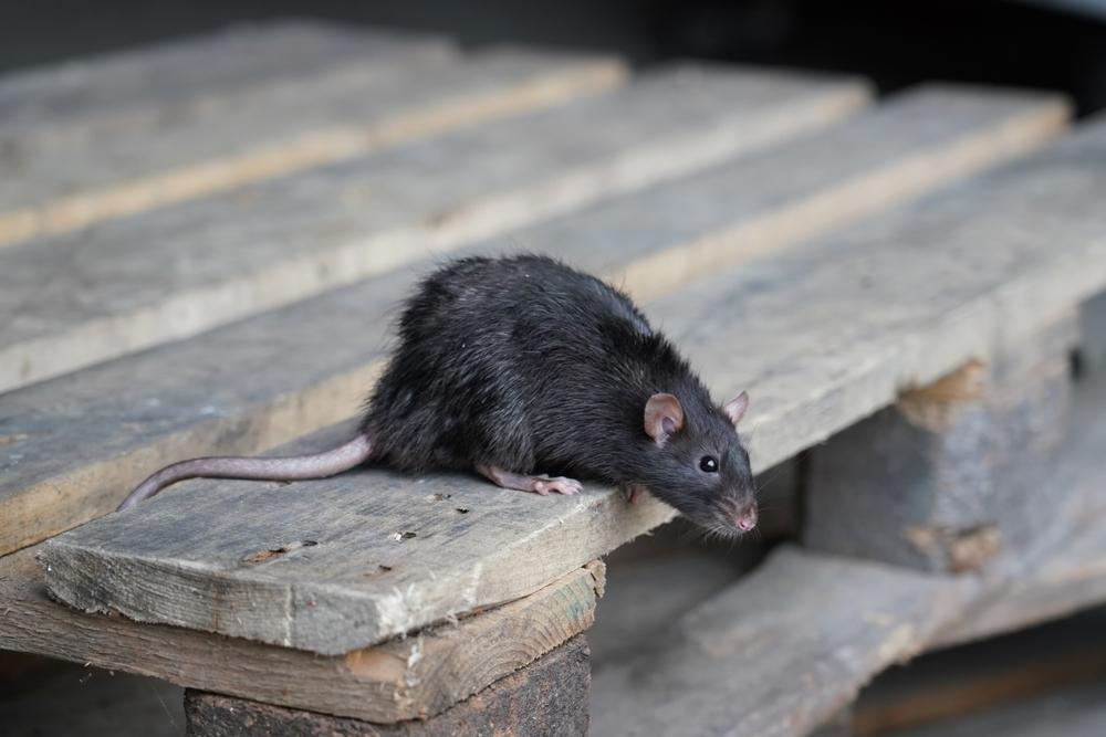 Rat noir sur bois