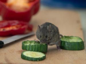Souris entrain de manger